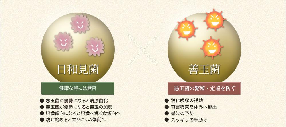 日和見菌(健康な時には無害)x善玉菌(アンチエイジング+免疫向上)